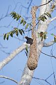 Cassique à tête brune (Psarocolius wagleri) au nid, Canopy Camp, PN Darién, Panama