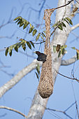 Chestnut-headed Oropendola (Psarocolius wagleri) at nest, Canopy Camp, Darién, Panama