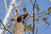 Cassiques à tête brune (Psarocolius wagleri) au nid, Canopy Camp, PN Darién, Panama