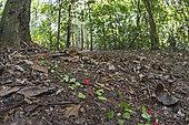Fourmis champignonnistes traversant le tapis forestier, Parc national de Darien, Panama