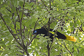 Cassique noir (Psarocolius guatimozinus) mâle paradant sur une branche, Darién, Panama