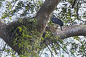 Harpie féroce (Harpia harpyja) femelle au nid avec poussin de six semaines, Parc National de Darién, Panama