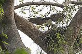 Harpy Eagle (Harpia harpyja) female at nest with six week old chick, Darién National Park, Panama