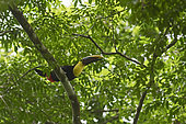 Toucan tocard (Ramphastos ambiguus) sur une branche, Canopy Camp, PN Darién, Panama