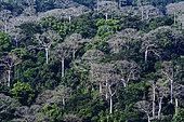 Forêt pluviale de plaine et grands Cuipos (Cavanillesia platanifolia), Parc national du Darién, Panama