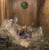 Great Tit (Parus major) young inside a nest box, Norfolk, May