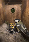 Great Tit (Parus major) feeding young inside a nest box, Norfolk, May