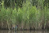 Purple Swamphen (Porphyrio porphyrio) vagrant to Minsmere RSPB Reserve, Sufolk, summer