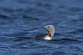 Red-throated Diver (Gavia stellata) on Voe close to breeding loch on Yell, Shetland, June