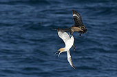 Great Skua Stercorarius skua attacking Gannet on route ack to its colony, to make it disgorge fish, behaviour known as Kleptoparasitism (parasitism by theft) Hermaness, Unst, Shetland, June