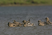Great Skua (Stercorarius skua) at freshwater loch to bathe Hermaness, Unst, Shetland, June
