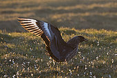 Great Skua (Stercorarius skua), Hermaness, Unst, Shetland, June