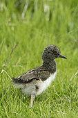 Eurasian Oystercatcher (Haematopus ostralegus) chick, Unst, Shetland, June
