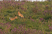 Brown Hare Lepus europaeus boxing in spring North Norfolk, England