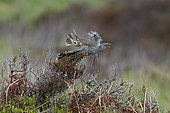 Common Cuckoo (Cuculus canorus) being mobbed by Meadow Pipits (Anthus pratensis), Caithness, Scotland, May