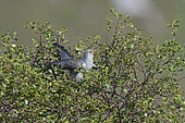 Common Cuckoo (Cuculus canorus), Caithness, Scotland, May