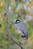 Yellow-crowned Night Heron (Nyctanassa violacea), Florida, USA