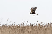 Western Marsh Harrier (Circus aeruginosus) female, Cley, Norfolk, England, June