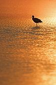 Pied Avocet (Recurvirostra avosetta) North Norfolk, England, June