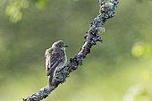 Spotted Flycatcher (Muscicapa striata), Sutherland, Scotland, June