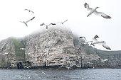 Fou de Bassan (Morus bassanus) en vol, Noss NNR, Shetland