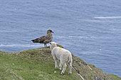 Lamby approaching Great Skua Stercorarius skua Hermaness Unst Shetland June