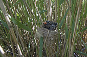 Cuckoo 12 day old chick in Reed Warblers nest, Norfolk, summer