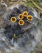 Blue Tit (Cyanistes caeruleus) nestlings in next box, Norfolk, May