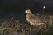 European Golden Plover (Pluvialis apricaria), Unst, Shetland, June