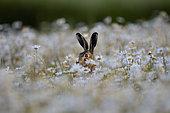 Brown Hare (Lepus europaeus) in Ox-eye Daisies, Norfolk, summer
