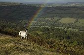 Welsh mountain pony, Herefordshire, England