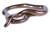 Lineolate blind snake (Afrotyphlopinae lineolatus) on white background