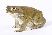 Colorado River toad (Incilius alvarius) on white background