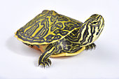 Florida redbelly turtle (Pseudemys nelsoni) on white background