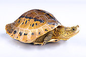 Flowerback Box Turtle (Cuora galbinifrons) on white background