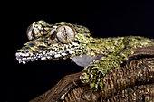 Giant leaf-tailed gecko (Uroplatus giganteus) on black background