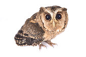 Indian scops owl (Otus bakkamoena) on white background