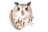 Siberian eagle-owl (Bubo bubo sibiricus) on white background
