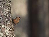 Chaffinch (Fringilla coelebs) male, Norfolk, UK, winter