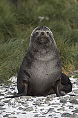 Antarctic Fur Seal (Arctocephalus gazella) male, St Andrews Bay, South Georgia, January