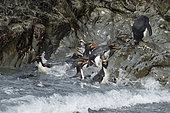 Gorfou doré (Eudyptes chrysolophus) sortant de l'eau, Baie d'Hercule, Géorgie du Sud