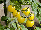 Tomate 'Snowberry'