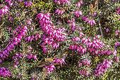 Erica darleyensis ' Spring Surprise'