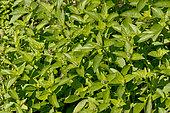 Ocimum basilicum citriodorum