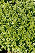 Ocimum basilicum Grec