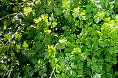 Petroselinum crispum var. neapolitanum