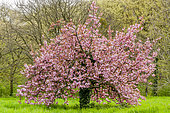 Pêcher (Prunus persica) 'Klara Meyer' en fleurs