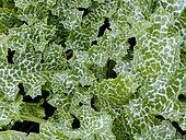 Plants de Silybum marianum