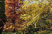 Taxodium distichum , Betula nigra 'Héritage', Cupressus sempervivens, Arboretum du Bois de Vincennes, Paris, France