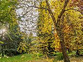 Taxodium distichum , Betula nigra 'Héritage', Cupressus sempervivens, Arboretum de l'Ecole du Breuil, Paris, France